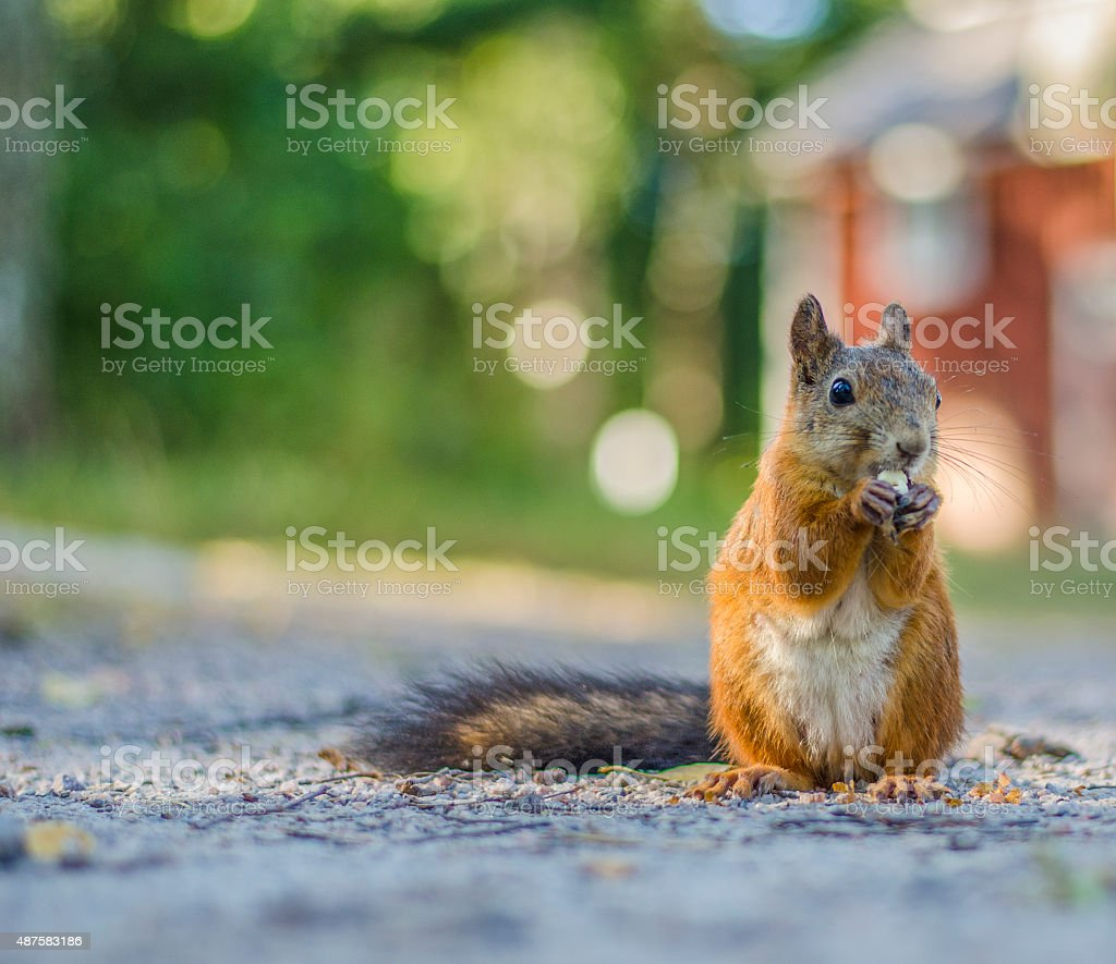 Cute Squirrel close up looking to the side stock photo