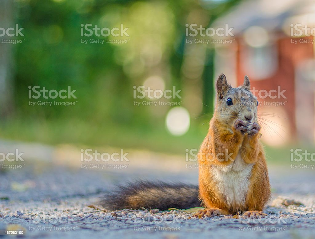 Cute Squirrel close up stock photo