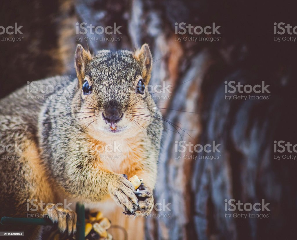 Cute squirrel closeup holding food and looking at you royalty-free stock photo