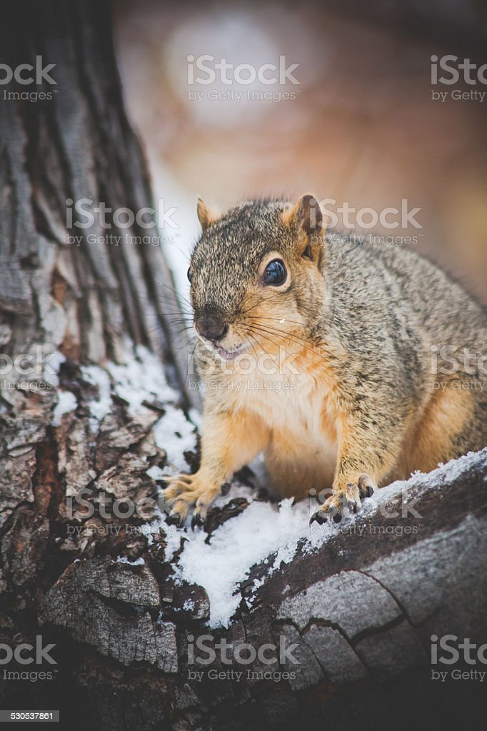 Cute squirrel closeup on winter tree & snow royalty-free stock photo