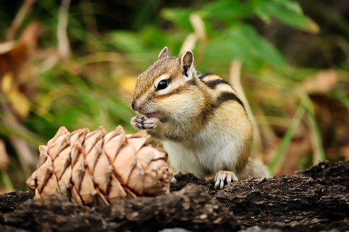 Beautiful squirrel eats pine nuts.