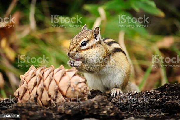 Photo of Cute squirrel eating pine cones.