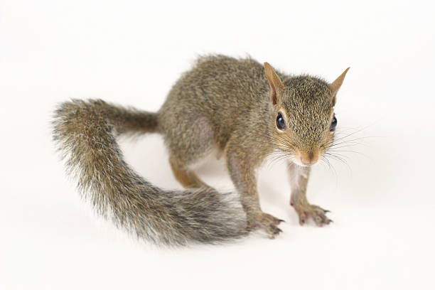 cute squirrel ii - squirrel stock photos and pictures
