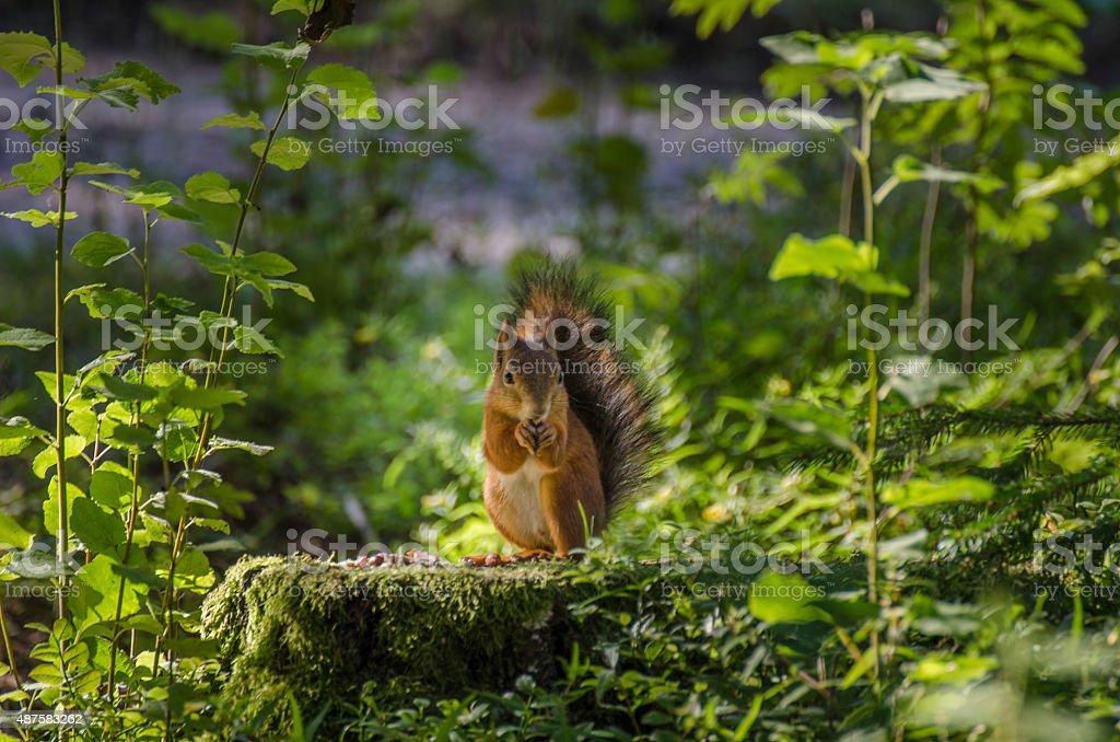 Cute Squirrel in the forest stock photo