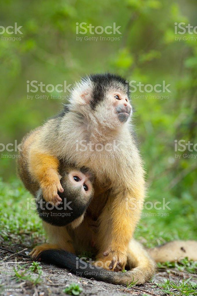 cute squirrel monkey royalty-free stock photo