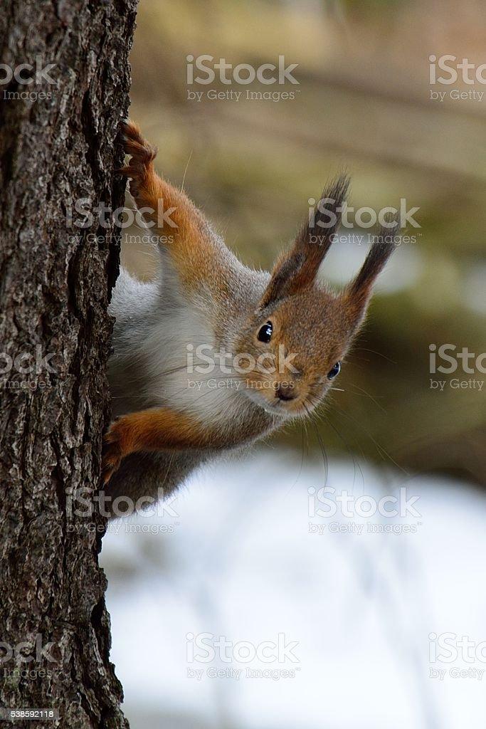 Cute squirrel peaking behind a tree - foto de stock