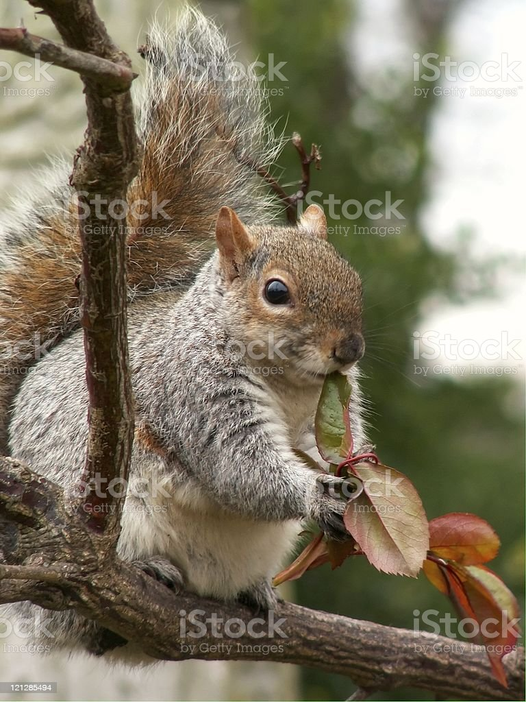 cute squirrel royalty-free stock photo