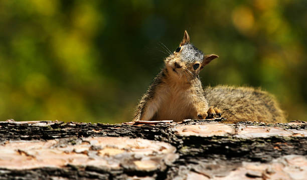 cute squirrel - squirrel stock photos and pictures