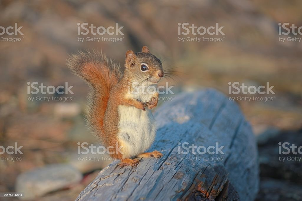 Cute Squirrel Sitting on a Log stock photo