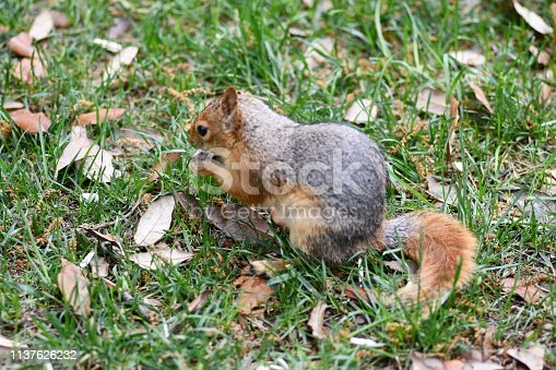 istock Cute squirrel sitting on the tree eat nut. 1137626232