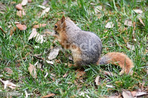 istock Cute squirrel sitting on the tree eat nut. 1137626294