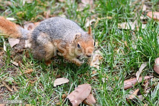 istock Cute squirrel sitting on the tree eat nut. 1137626306
