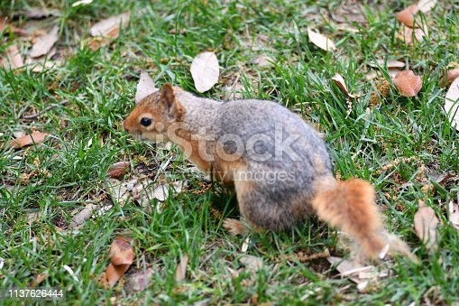 istock Cute squirrel sitting on the tree eat nut. 1137626444