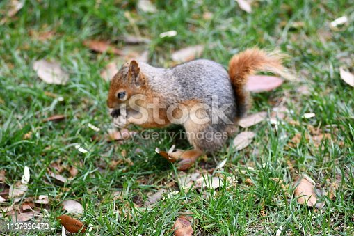 istock Cute squirrel sitting on the tree eat nut. 1137626473