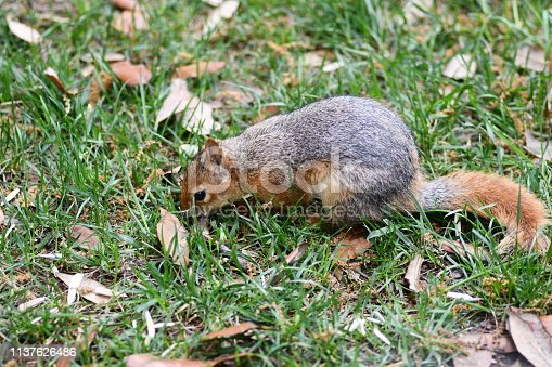 istock Cute squirrel sitting on the tree eat nut. 1137626486