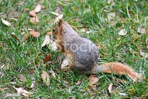 istock Cute squirrel sitting on the tree eat nut. 1137626547