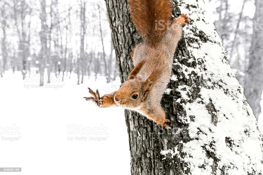 cute squirrel sitting on tree trunk in winter forest stock photo