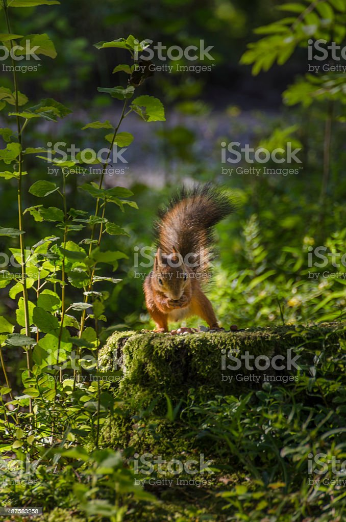 Cute Squirrel Standing Eating stock photo