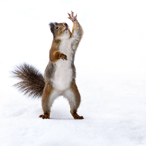 cute squirrel standing on the snow - squirrel stock photos and pictures