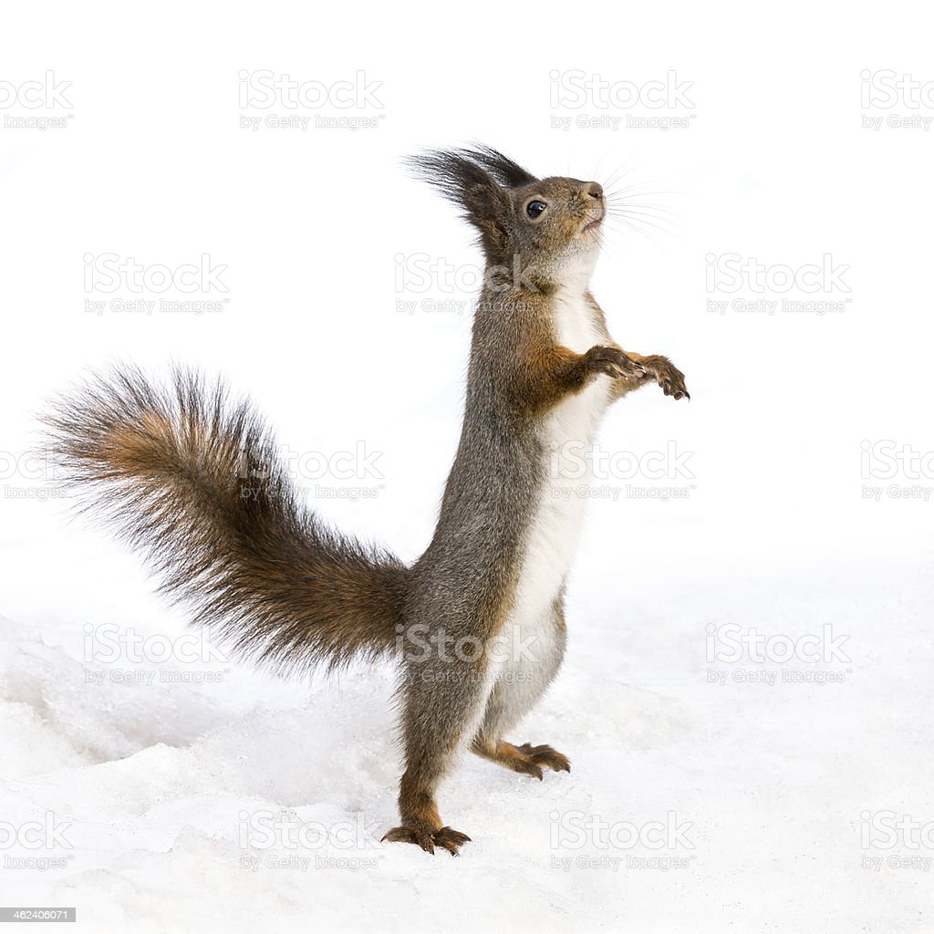 Cute squirrel standing on the snow stock photo