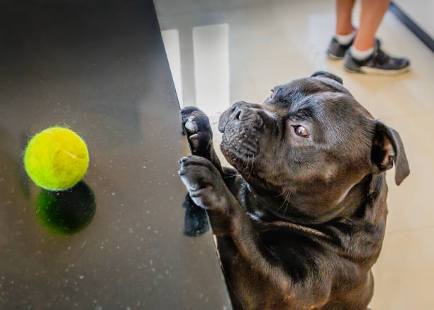 A cute Staffordshire Bull Terrier dog reaches up to a kitchen sideboard to try and reach his tennis ball whilst a man whose feet can be seen looks the other way. stock photo