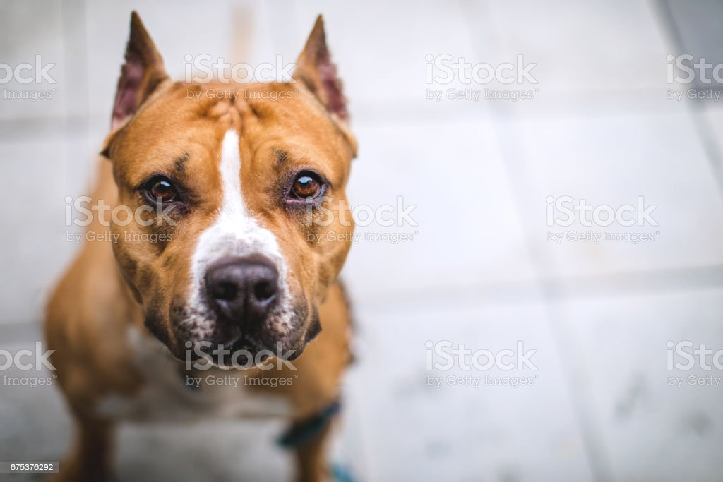 Cute Staffordshire Bull Terrier stock photo