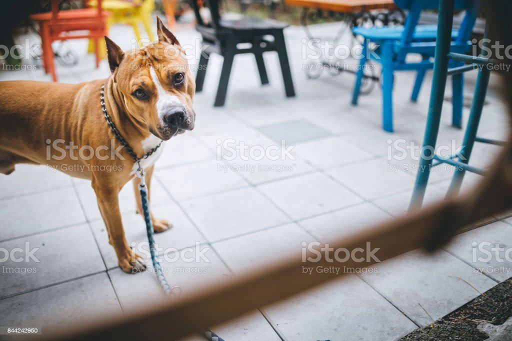 Cute Staffordshire Bull Terrier stock photo