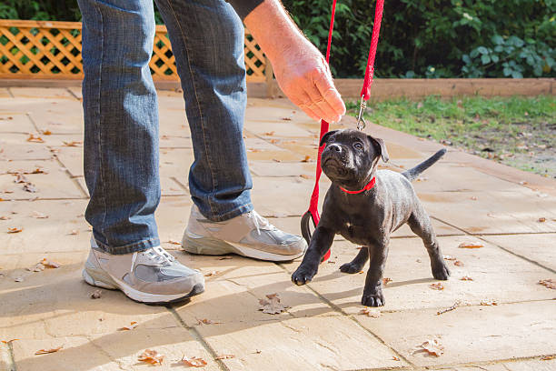 Cute Staffordshire Bull Terrier puppy training on a red leash. stock photo