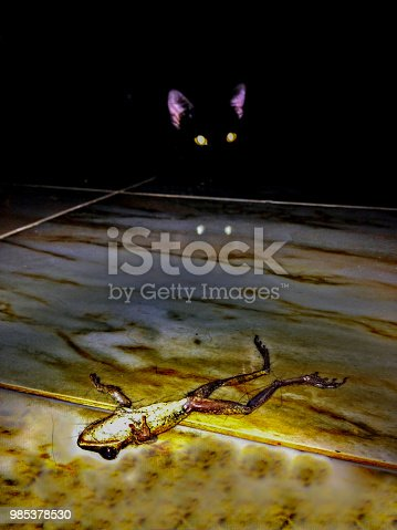 Here we see one cute Kitten hiding in the shadows.   In the foreground a dead frog he has just killed.  The cat's eyes are burning in the dark.  Image taken in Ko Lanta, Thailand.
