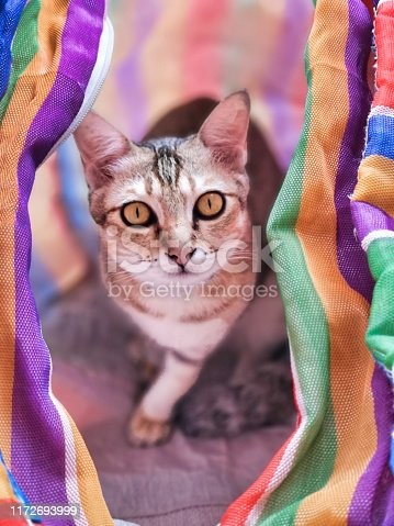 One young cat is within a striped bag.  He is playing hide and seek and looking at the camera.  The colourful stripes of the bag match the beautiful stripes on his fur.