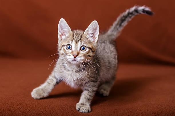 Cute striped kitten picture id513295253?b=1&k=6&m=513295253&s=612x612&w=0&h=3mtlfbavtait2rit9 ppnmrfhdep6bqfhjautzzl5ss=