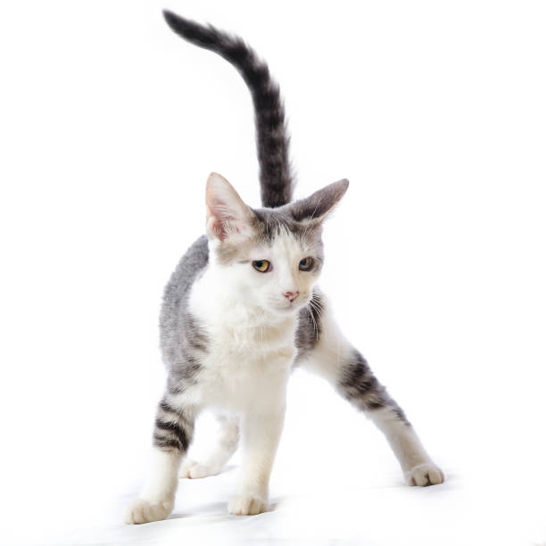 Cute striped white and gray tabby kitten with her tail up isolated on picture id905984146?b=1&k=6&m=905984146&s=612x612&w=0&h=hx61aof 1jg0ttahz1taqzpst b1y v7xrbdvsy5m4c=