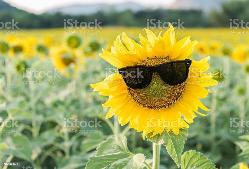 cute sunflower wear sunglass stock photo
