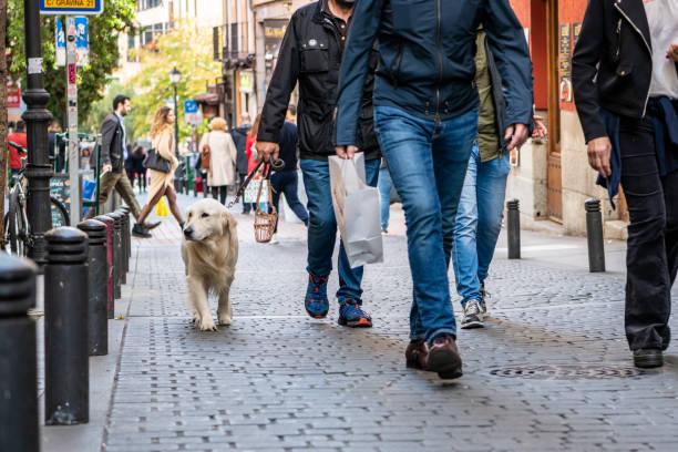 A cute, sweet dog goes for a walk in the Malasana neighborhood in Madrid. stock photo