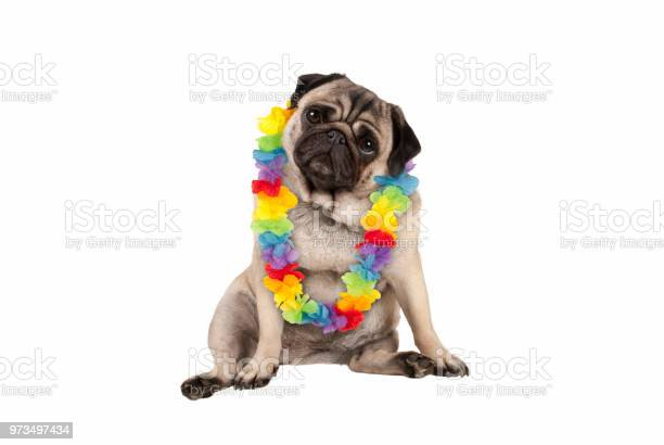 Cute sweet pug puppy dog sitting down wearing hawaiian flower garland picture id973497434?b=1&k=6&m=973497434&s=612x612&h=quyq40cqea3fslswnhk7hy7qu84o inyxtxqc0ye45i=