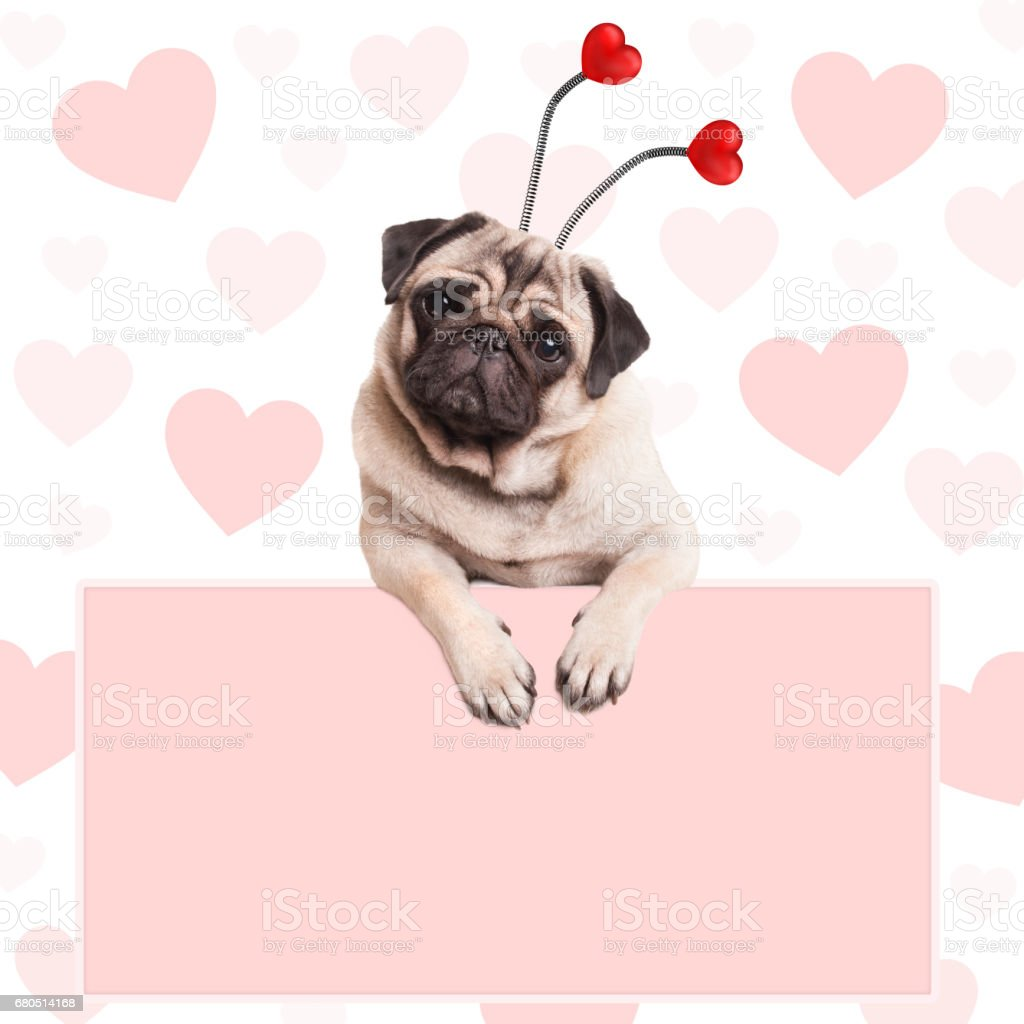 cute sweet pug puppy dog with hearts diadem, hanging on blank pale pink promotional sign stock photo