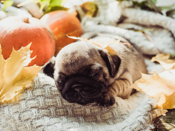 Cute, sweet puppy, sleeping on a blanket Cute, sweet puppy, sleeping on a blanket, yellow pumpkins and leaves on a white background. Pet care concept thanksgiving pets stock pictures, royalty-free photos & images