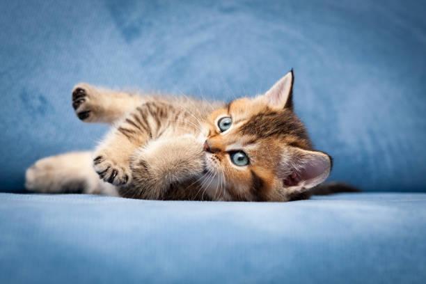 Cute tabby British kitten chewing his paw stock photo