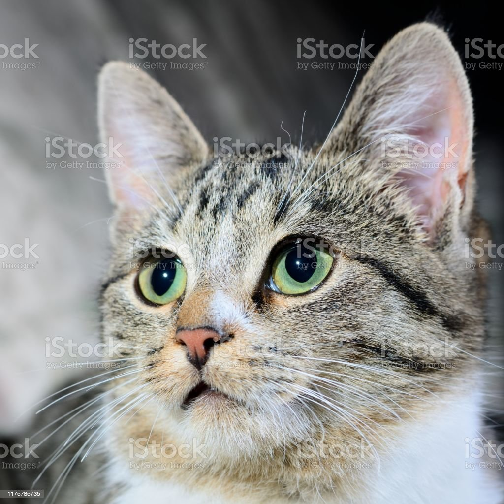Cute Tabby Cat Head Grey Striped Cat With Green Eyes Stock Photo Download Image Now Istock