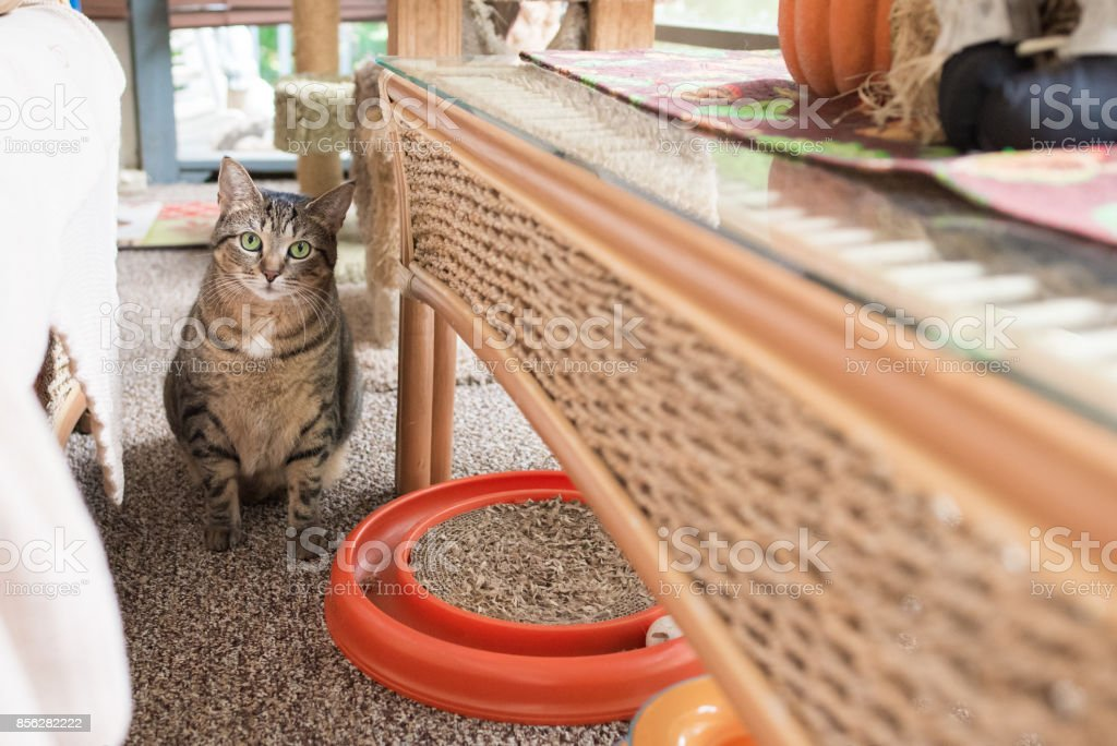 Cute tabby cat hiding indoors stock photo