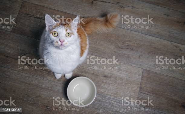 Cute tabby cat looking to the camera and waiting for food high angle picture id1084109232?b=1&k=6&m=1084109232&s=612x612&h=2 qf1mljyjdq winpcmy9gaz1eidwwo5vt0rzmcsqc0=