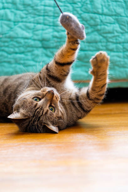 Cute tabby cat playing with a toy mouse picture id907906468?b=1&k=6&m=907906468&s=612x612&w=0&h=zbolt z7zlnze7vnf3i5ztpxhujp4pqus0stdzjcos8=