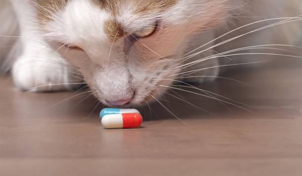 cute tabby cat sniffs on medicine capsules. - poisonous stock pictures, royalty-free photos & images