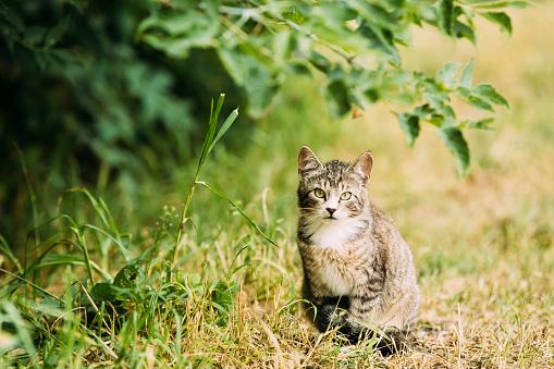 Cute Tabby Gray Cat Kitten Pussycat Play In Grass Outdoor At Summer Evening