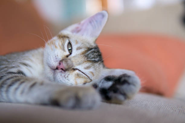 Cute Tabby kitten lying on Sofa couch potato stock photo
