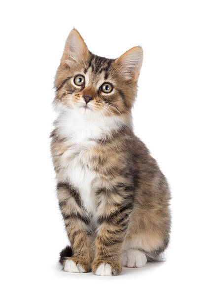 cute tabby kitten on a white background. - kitten stock photos and pictures