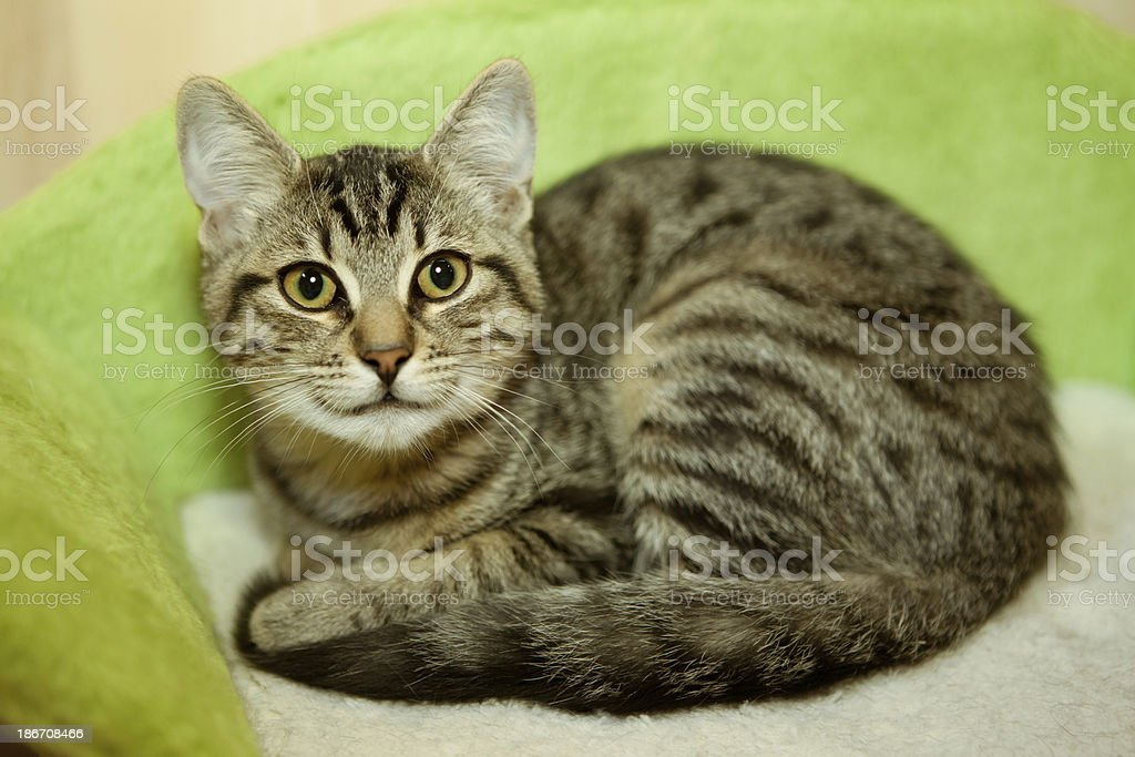 cute tabby kitten on green couch stock photo