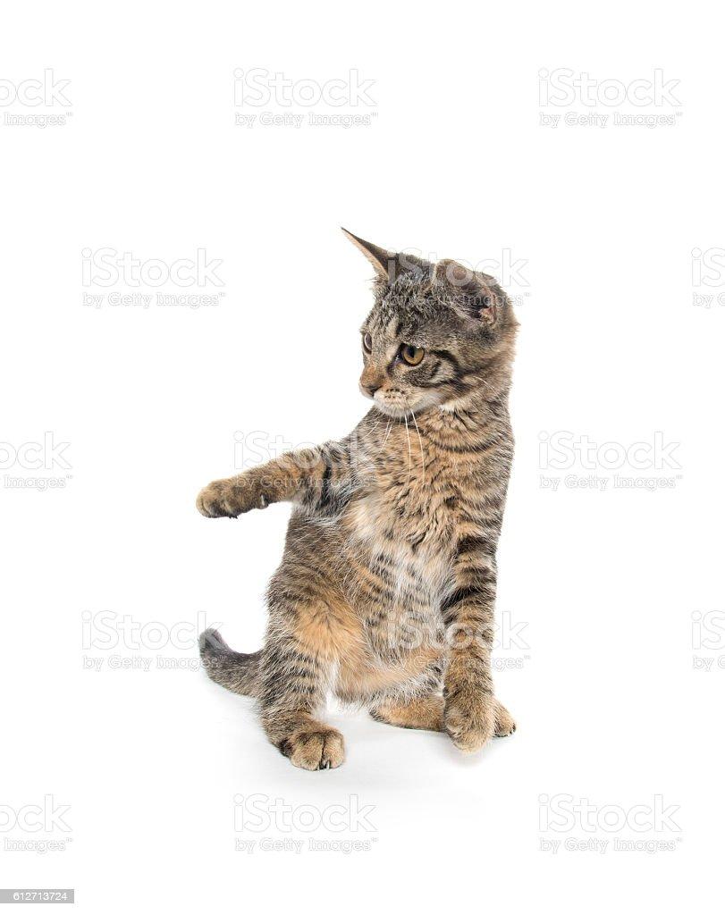 Cute tabby kitten on hind legs stock photo