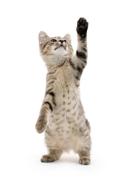 Cute tabby kitten picture id185789000?b=1&k=6&m=185789000&s=612x612&w=0&h=wphmyrxczjo80jnituub qbdzt egvoawukistbxseu=
