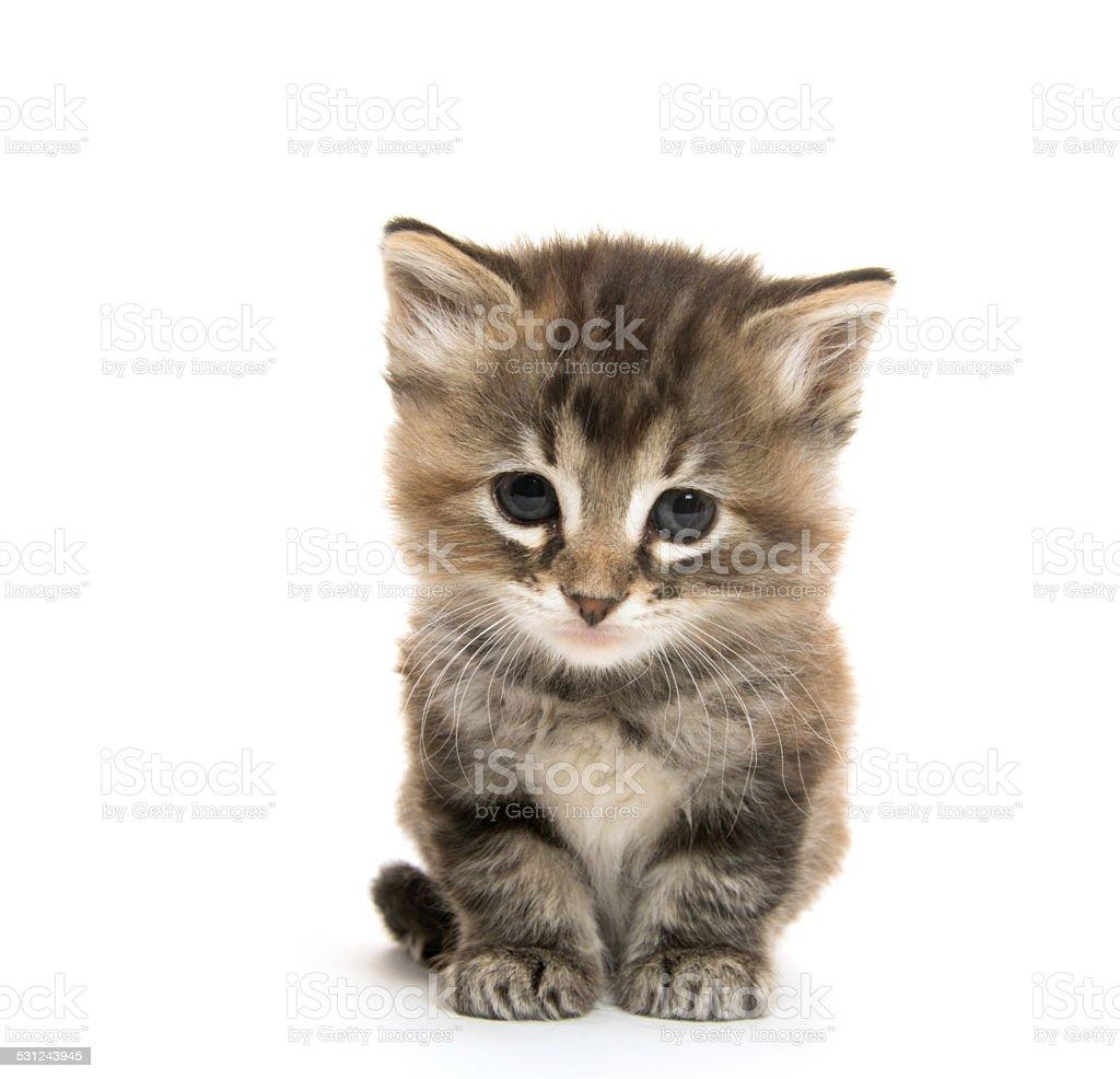 Cute tabby kitten stock photo